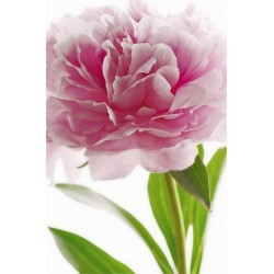 POSTER PINK PEONY 651